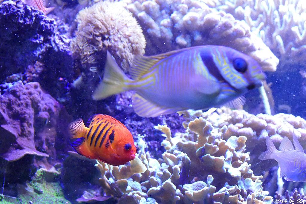 Flammenzwergkaiser, Blaustreifen-Kaninchenfisch