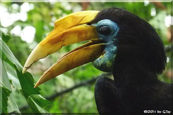 Runzelhornvogel