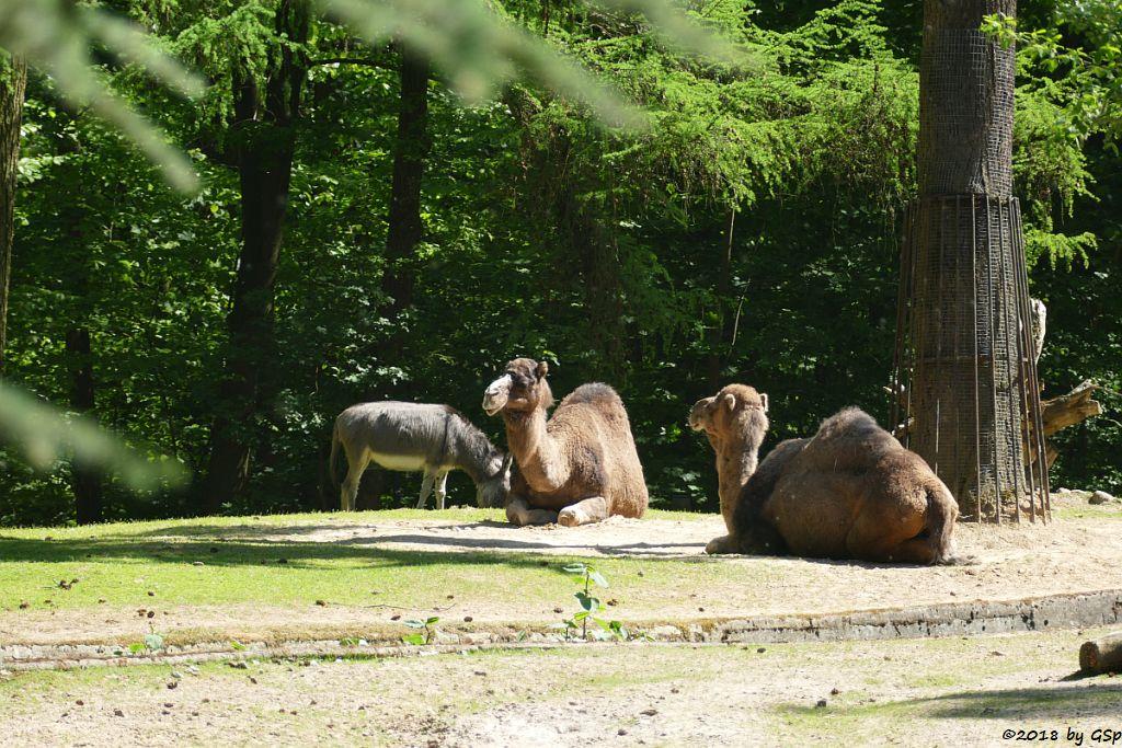 Sardinischer Zwergesel (Equus asinus), Dromedar (Einhöckriges Kamel, Arabisches Kamel)