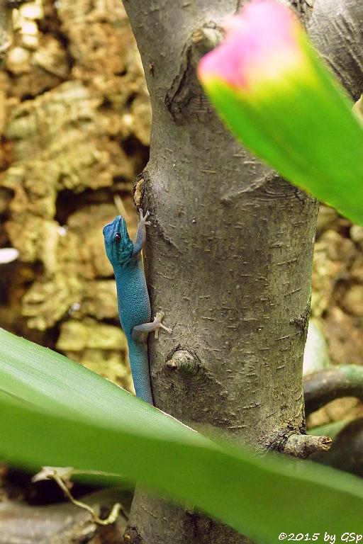Türkisgecko