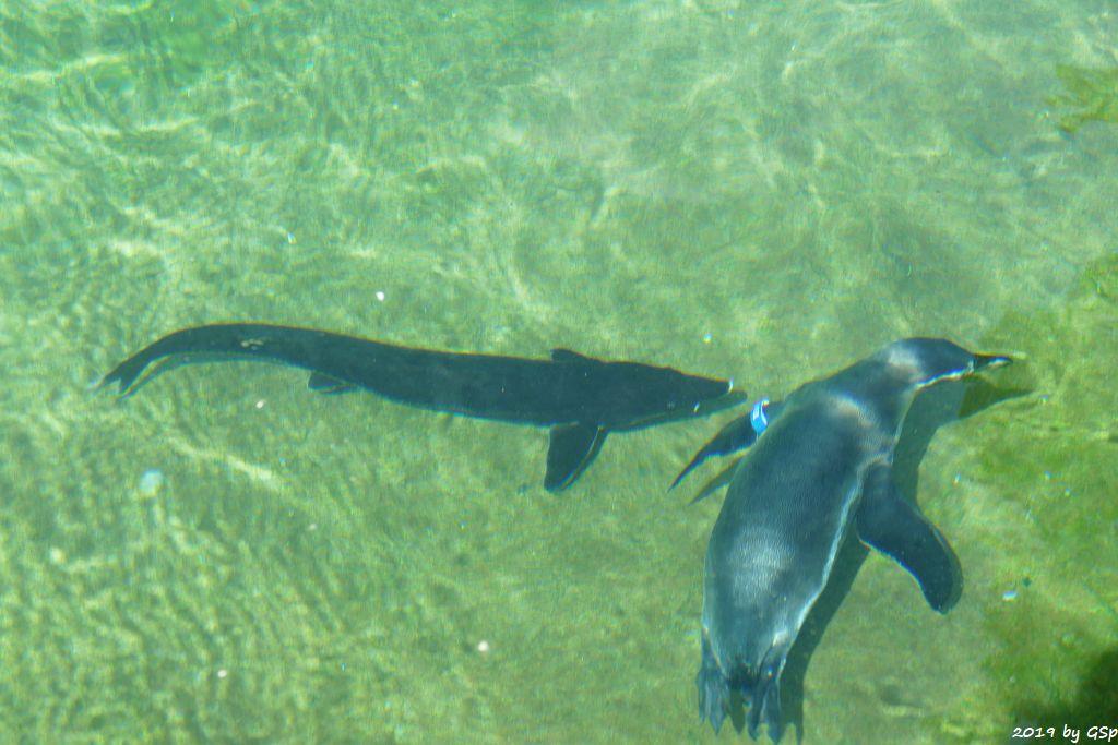 Sterlet, Humboldtpinguin