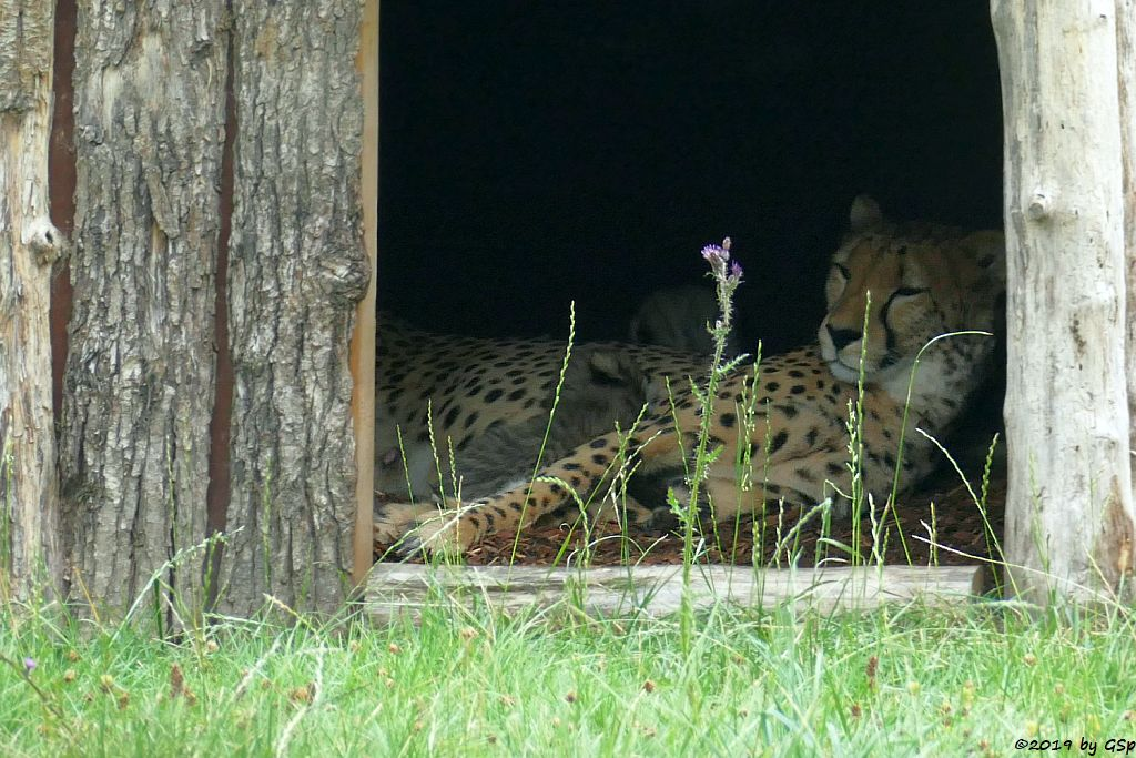 Südafrikanischer Gepard, Jungtiere geb. 23.6.19 (6 Wo)