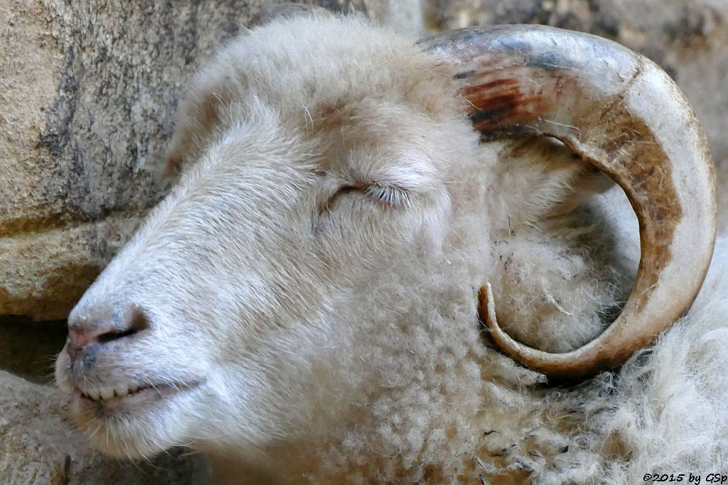 Ouessant-Schaf