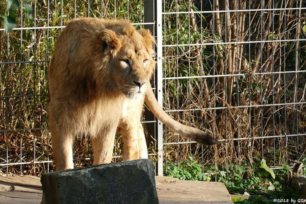 Asiatischer Löwe (Indischre Löwe) NAVIN