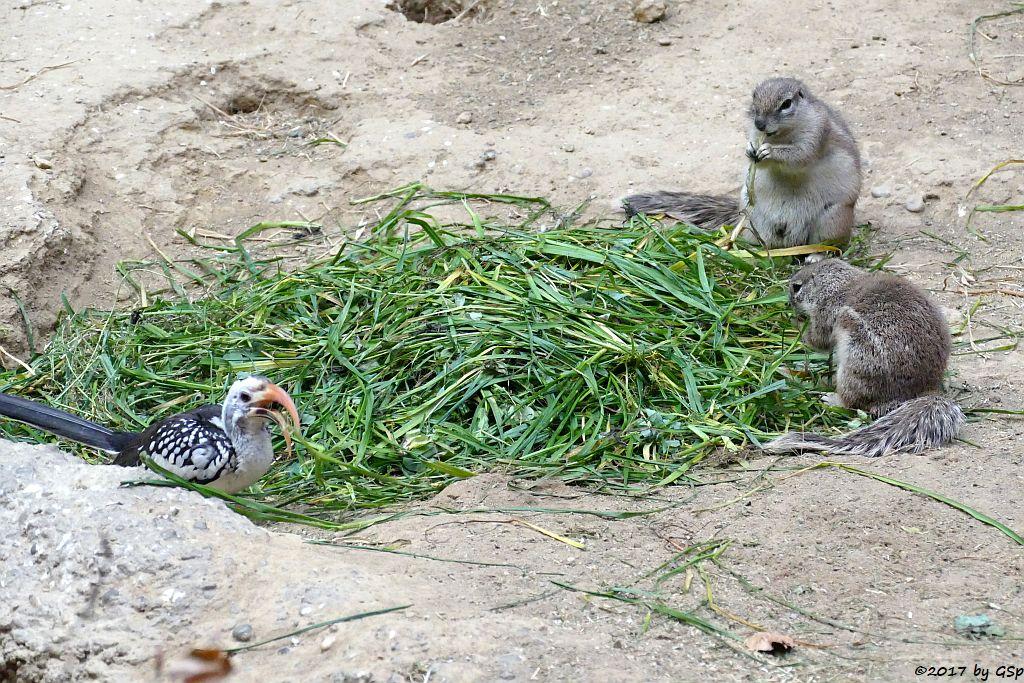 Rotschnabeltoko, Kap-Borstenhörnchen
