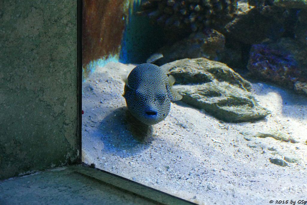 Punktierter Kugelfisch