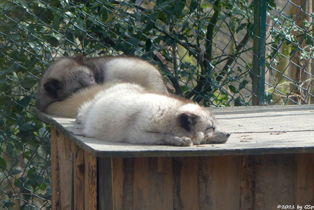 Polarfuchs (Eisfuchs, Blaufuchs)