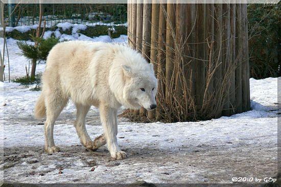 Kanadischer Wolf