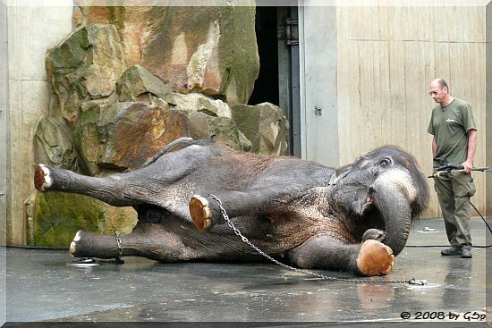 Asiatischer Elefant SCHÖPFLI