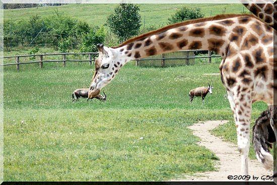 Blässbock und Rothschild-Giraffe
