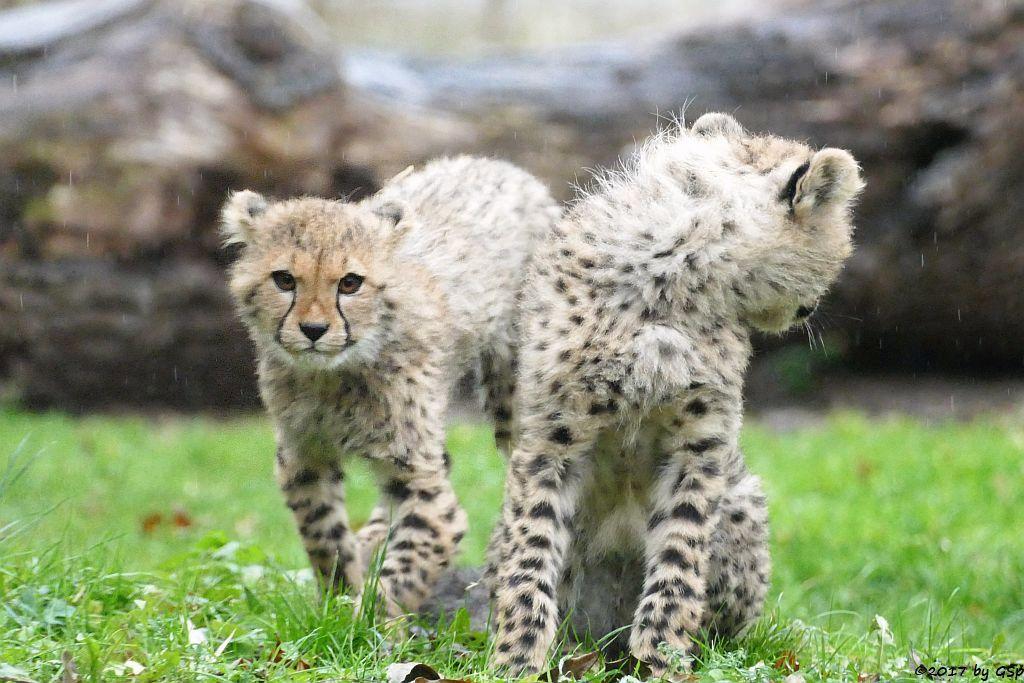 Gepard, geb. am 18.7.17