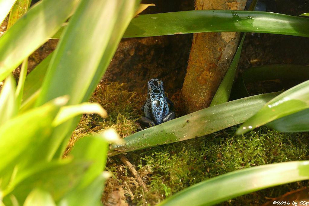 Blauer Baumsteiger (Azurblauer Pfeilgiftfrosch)