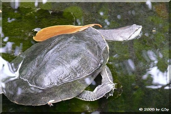 Helle Krötenkopfschildkröte