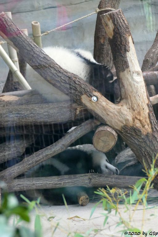Großer Panda (Riesenpanda, Bambusbär) PIT und PAULE