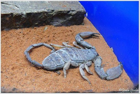 Dünnschwanzskorpion
