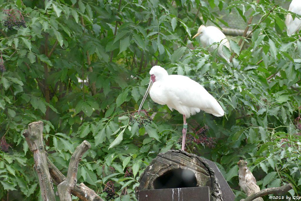 Rotgesichtlöffler (Afrikanischer Löffler, Rosenfußlöffler), Kuhreiher (Westlicher Kuhreiher)