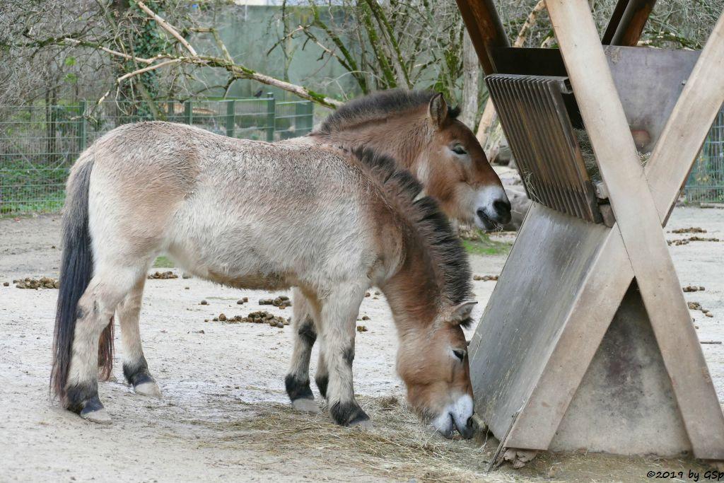 Przewalskipferd (Przewalski-Urwildpferd, Asiatische Wildpferd)
