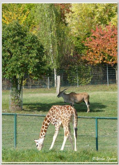 Rothschildgiraffe GERRY und Elenantilope