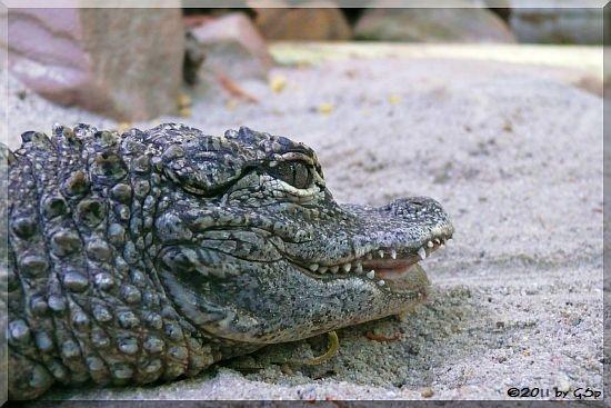 China-Alligator