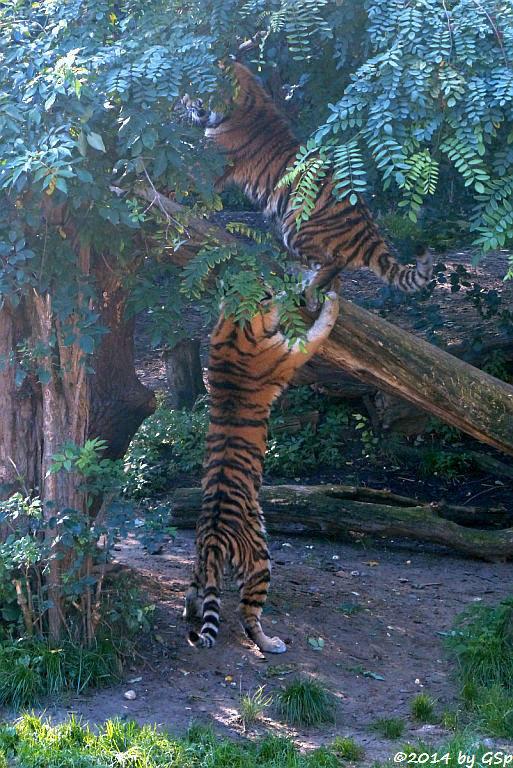 Sibirische Tiger DIMA und DARJA, geb. am 10.08.13