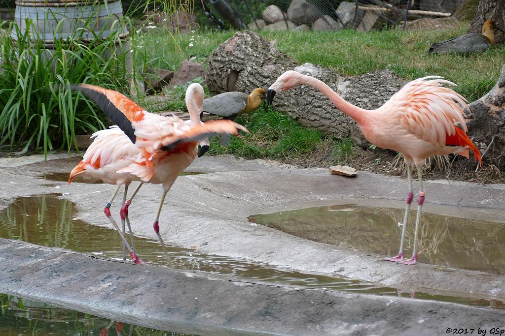 Chileflamingo (Chilenischer Flamingo), Schwarzzügelibis (Brillenibis)