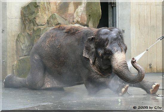 Asiatischer Elefant SCHÖPFI