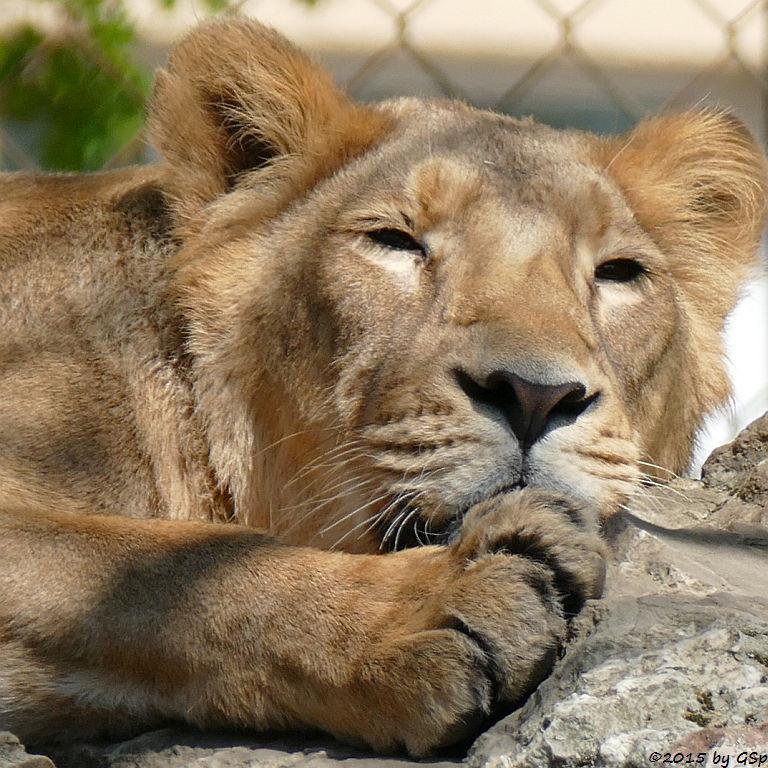 Indische Löwin ZARINA