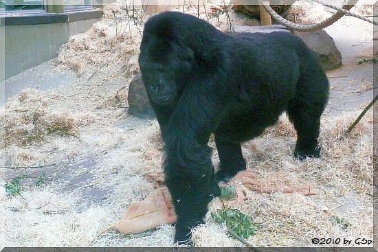 Östlicher Flachlandgorilla