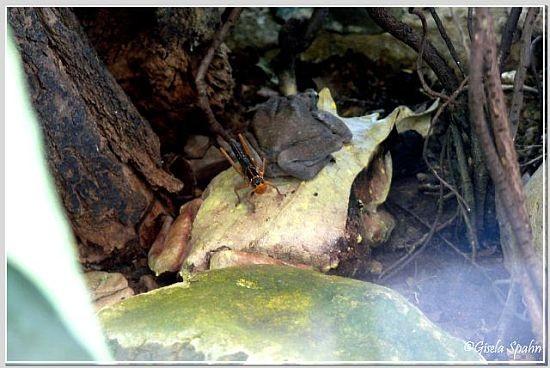 Zipfelfrosch und gefleckte Baumkröte