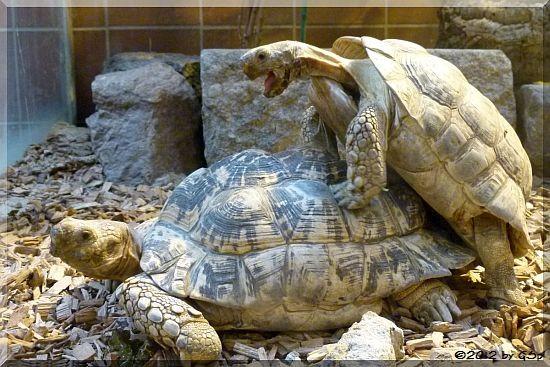 Pamtherschildkröte