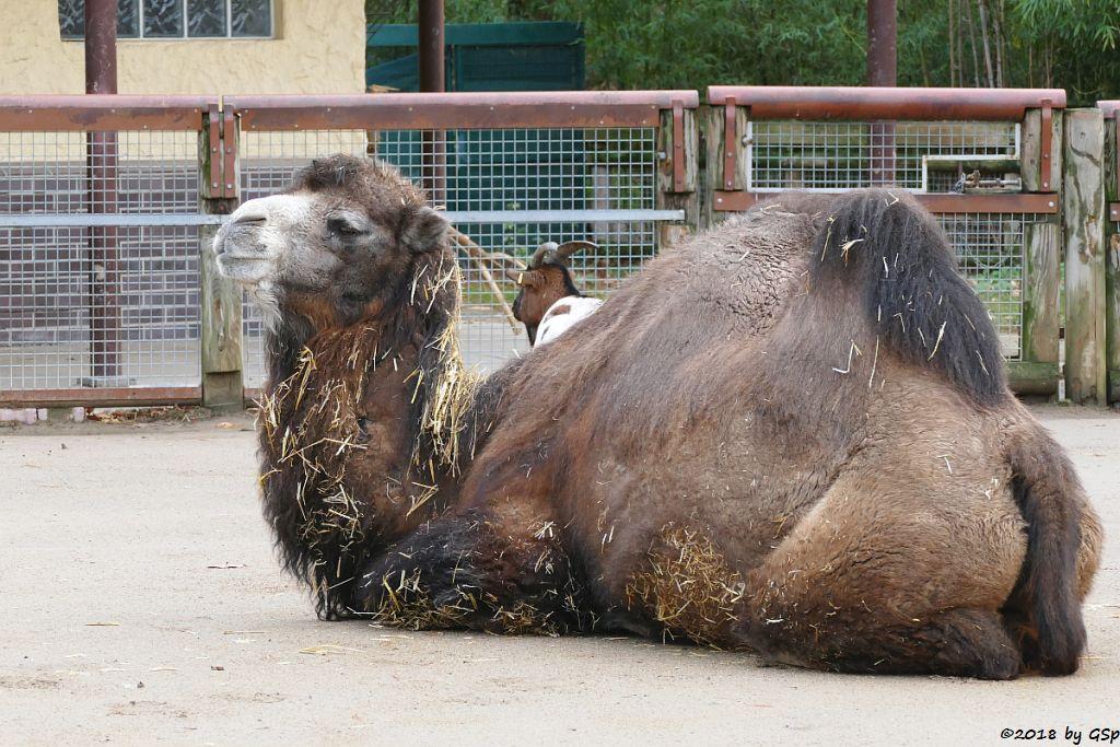 Trampeltier (Zweihöckriges Kamel, Hauskamel), Afrikanische Zwergziege (Westafrikanische Zwergziege, Kamerun-Zwergziege)