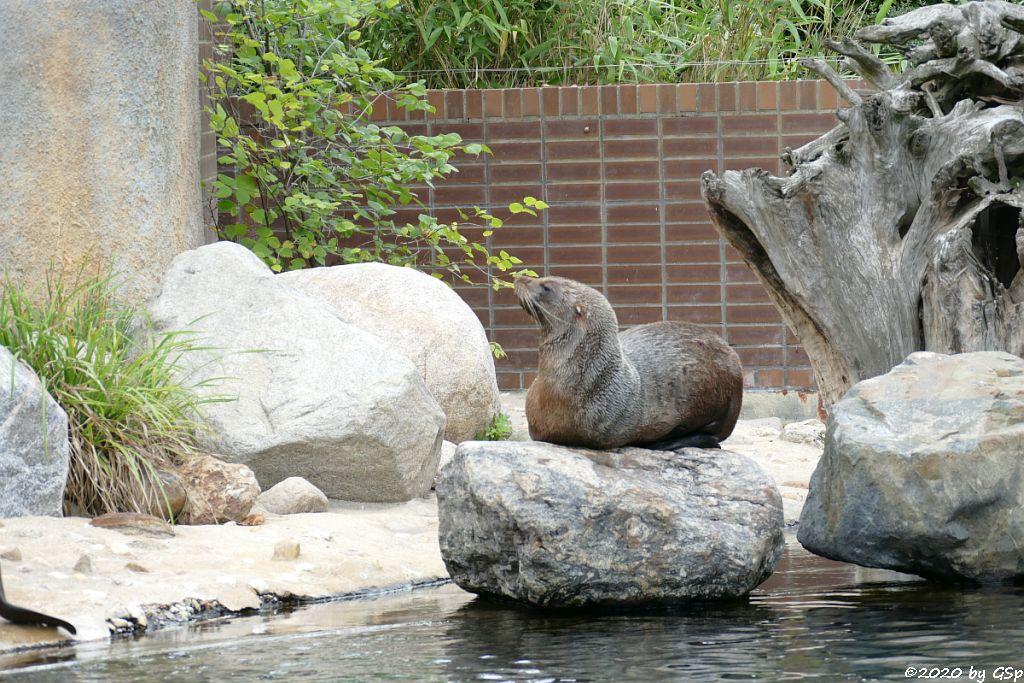 Südafrikanischer Seebär (Zwergseebär, Kap-Seebär) LIPPI
