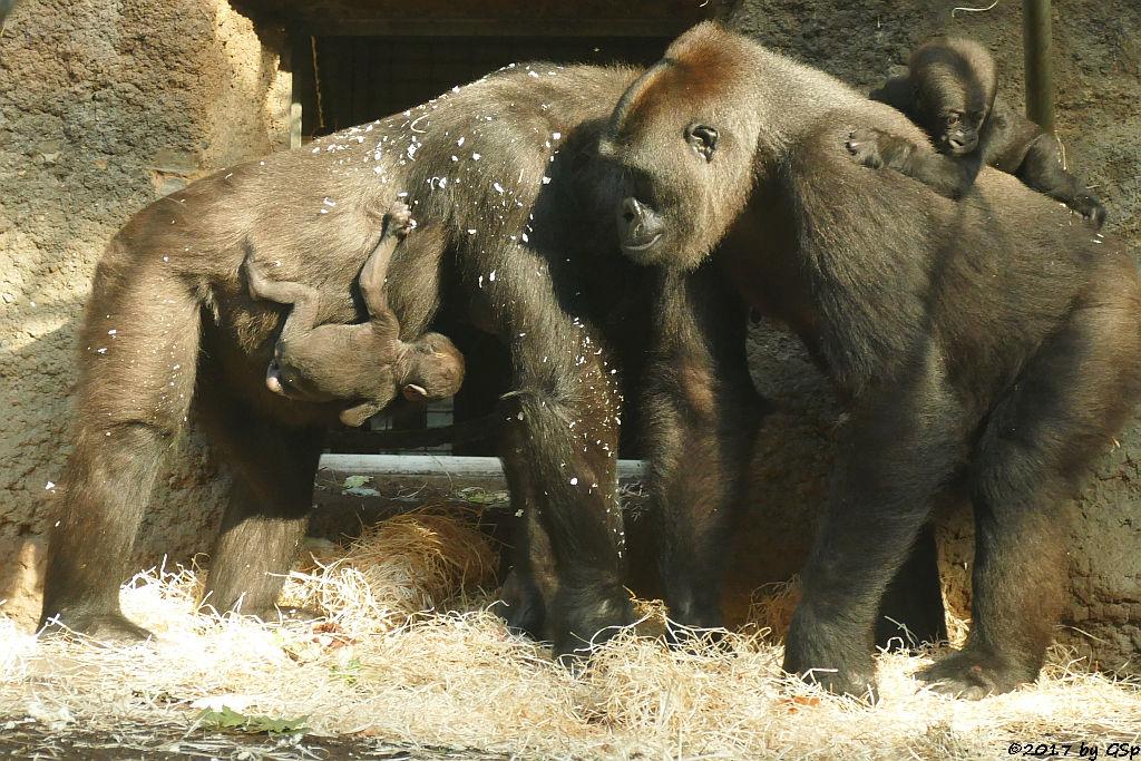 Flachlandgorilla DIAN mit ihrer Tochter (15 Tage alt) und SHIRA mit WELA (6 Mon. alt)