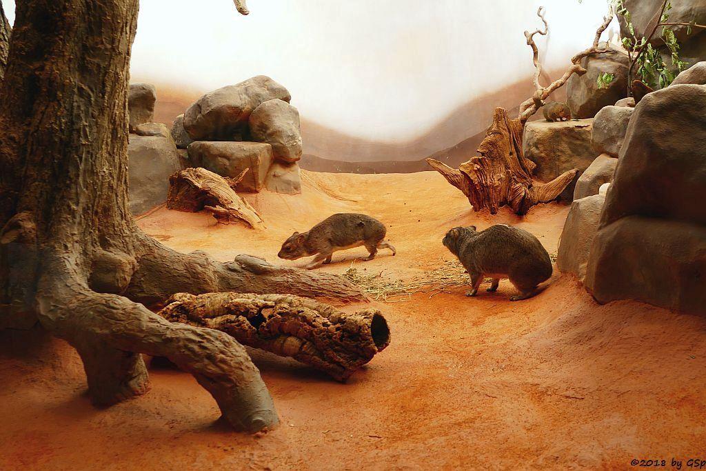 Buschschliefer (Steppenschliefer, Grauer Buschschliefer), Ostafrikanische Zwergmangustee (Östlicher Zwergmungo)