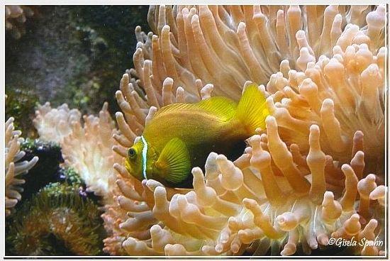 Schwarzbauch-Anemonenfisch
