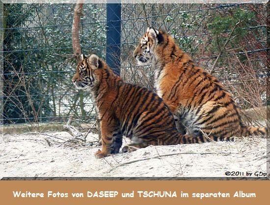 Sumatratigerin DASEEP und Sibirische Tigerin TSCHUNA