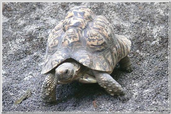Panther-Schildkröte