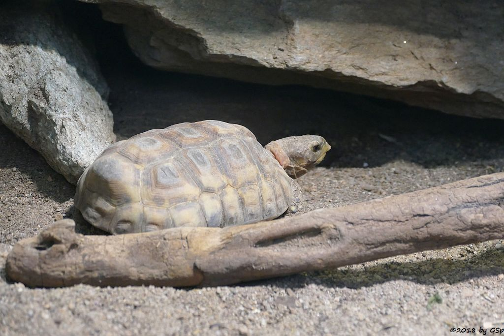 Glattrand-Gelenkschildkröte
