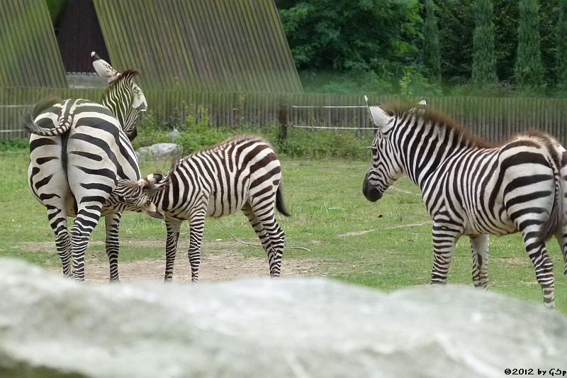 Grant-Zebra
