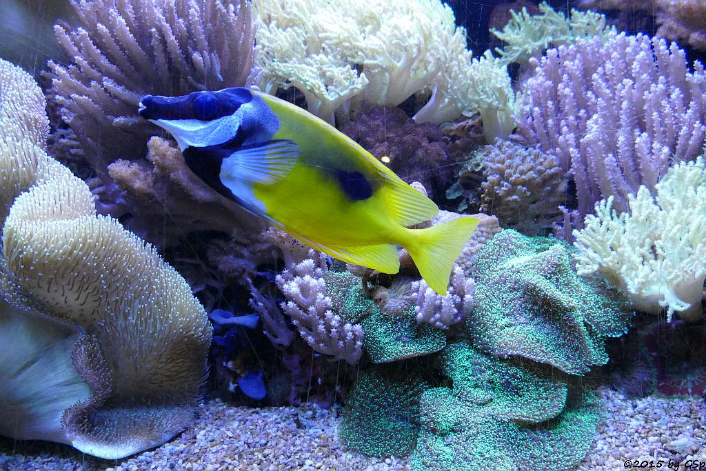 Regenbogen-Lippfisch, Einfleckiges Fuchsgesicht, Sattelfleck-Anemonenfisch, Zitronenflossen-Drfisc