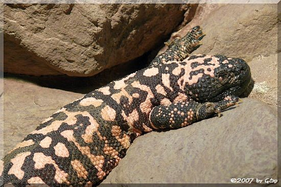 Krustenechse (Gila-Monster)