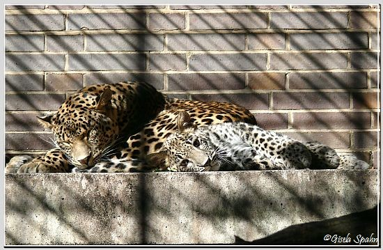 Persischer Leopard, Jungtier geb. im April 2008 (ca. 5 Mon. alt)
