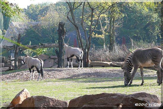 Südafrikanischer Spießbock, Grévy-Zebra