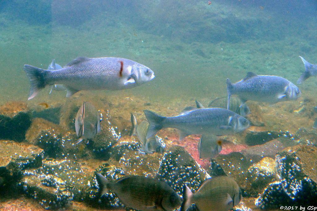 Europäischer Wolfsbarsch (Seebarsch), Goldbrasse (Dorade)