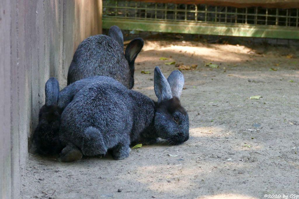 Deutsche Großsilber Kaninchen schwarz