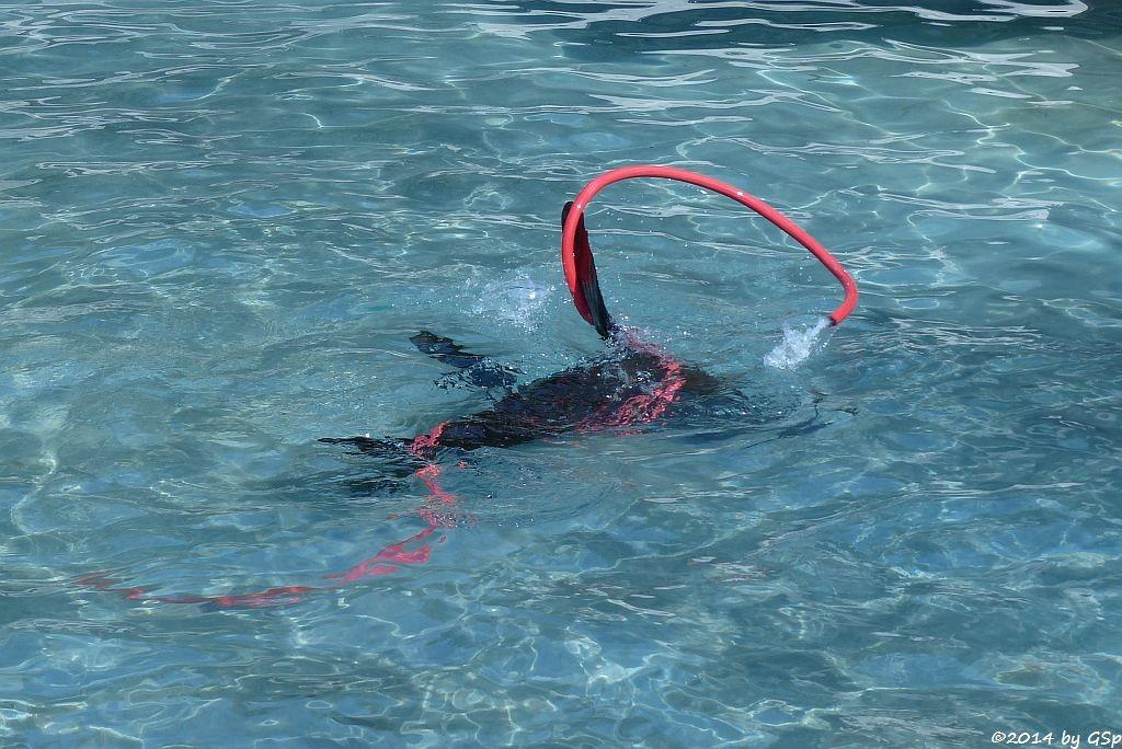 Südafrikanischer Seebär
