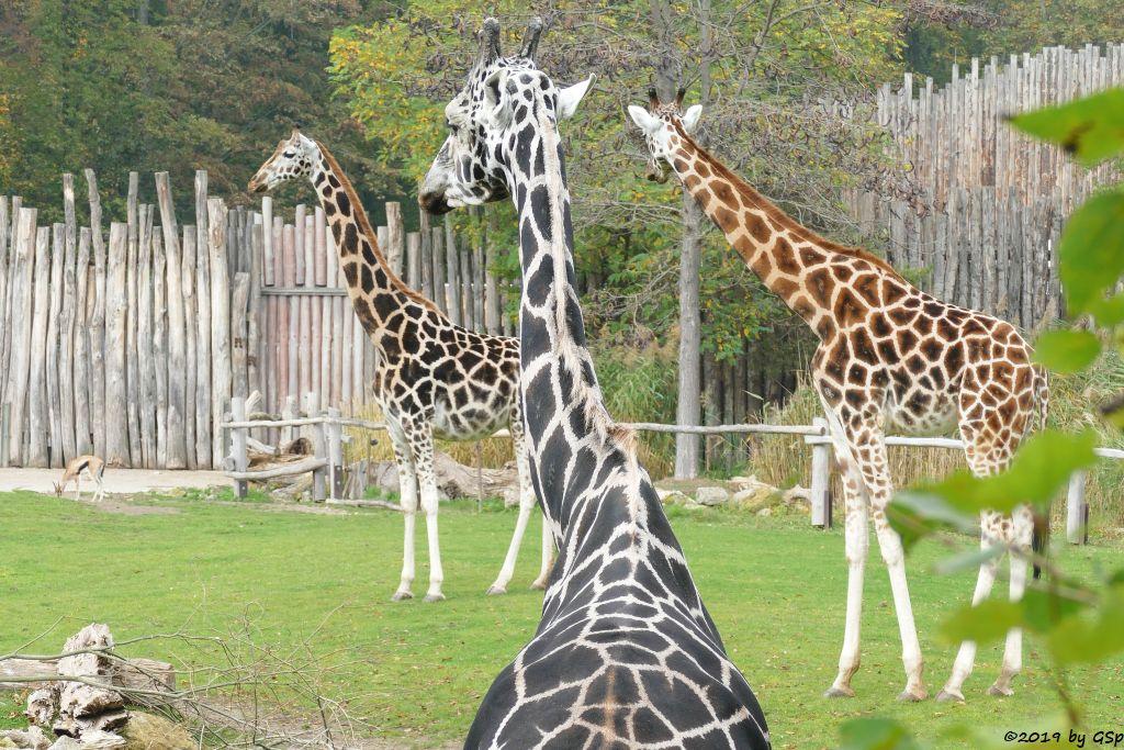 Thomsongazelle, Rothschildgiraffe (Uganda-Giraffe, Baringo-Giraffe)