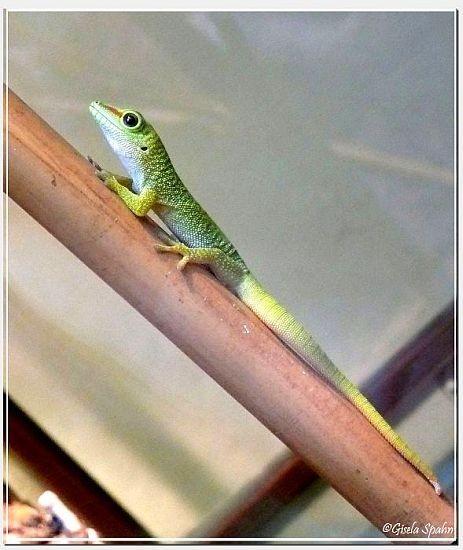 Junger Madagaskar Taggecko
