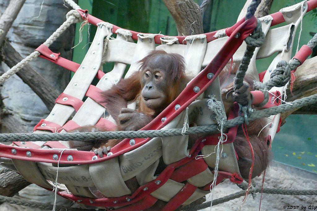 Sumatra-Orang-Utan SAYANG mit Mama ROSA