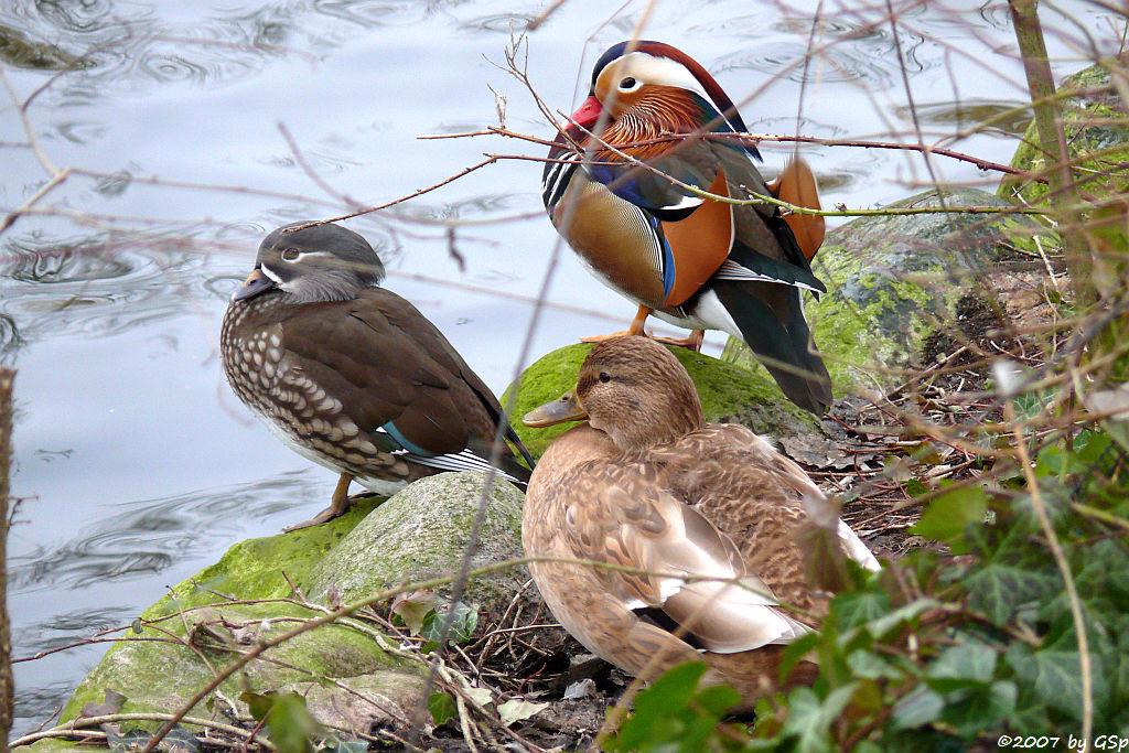 Mandarinentenpaar und Stockentenweibchen